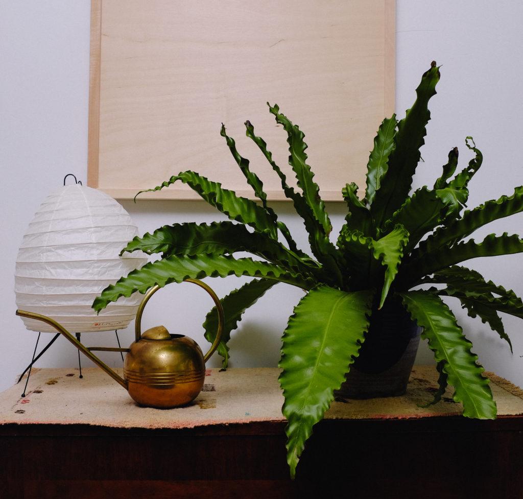 birds nest fern with noguchi lamp