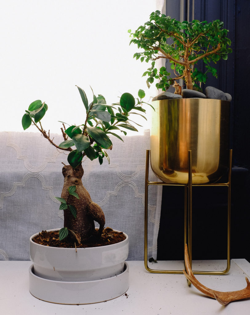 ginseng and honeysuckle bonsai